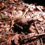 I rospi… anzi una rana
